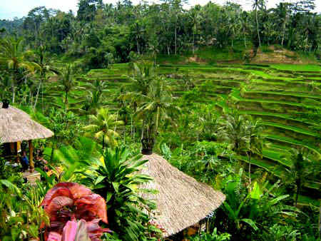 Rice Terraced Tegalalang Ubud